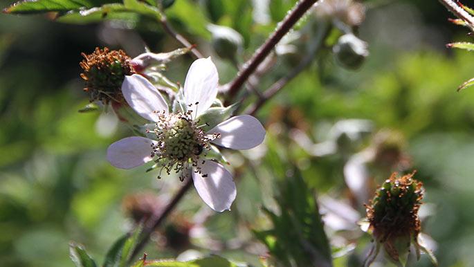 Brombær blomster