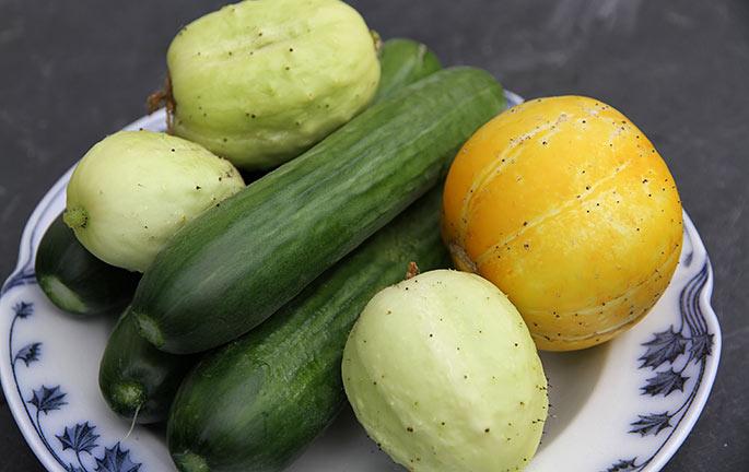 Dagens høst af agurker.
