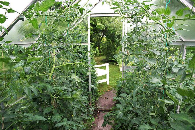 Efter beskæring af tomater og agurk.