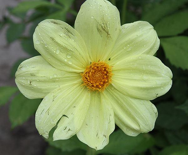 Grorginernes blomster var også mærkede af regn, blæst og hagl. Men her springer nye ud snart,