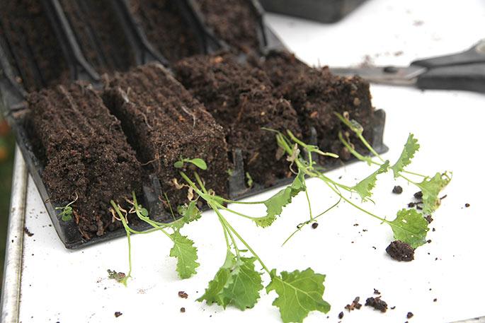 Planterne er egentlig for små til at plante ud. Rødderne holde ikke rodklumpen godt nok.