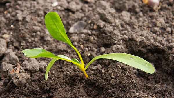 rødbede plantet i jorden