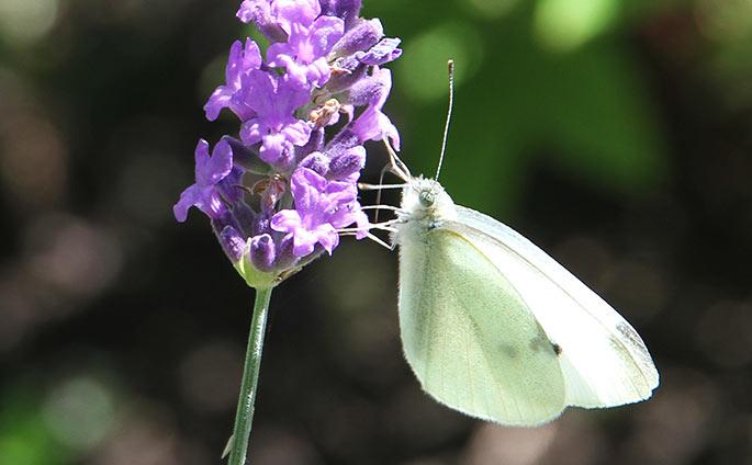 En smuk hvid kålsommerfugl på lavendel