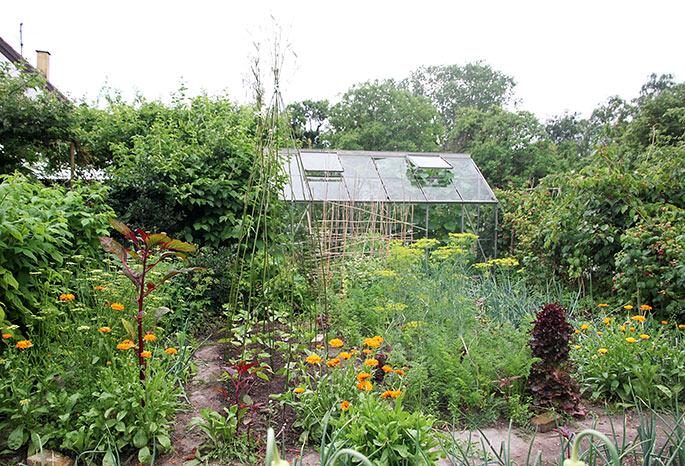 Der er plantet stangbønner ud et bed, hvor der har været tidlige kartofler.