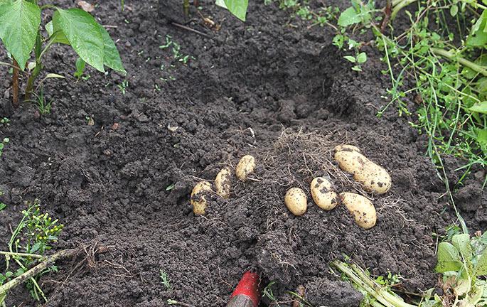 Nede i kartoffeldybde er jorden fugtig, men ikke sjaskvåd som i overfladen.