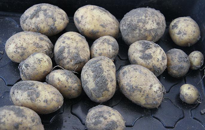 Kartofler af sorten Hamlet taget op til læggekartofler.