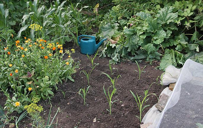 Spændende om de små majsplanter kan nå at give majskobler i efteråret.