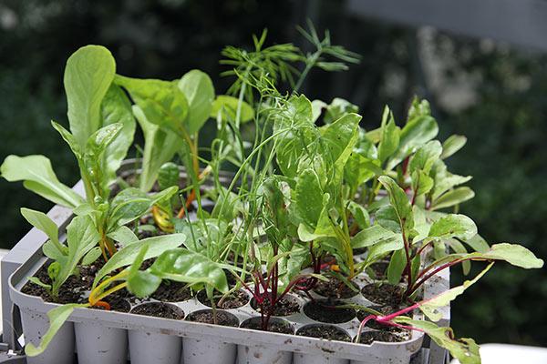 Pluggbox med rødbeder, salat og knoldfennikel.