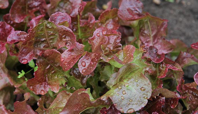 Salaten havde godt at regn fra oven, selv om jeg selvfølgelig har givet den vand med jævne mellemrum.