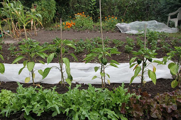 Salat, peberfrugter og fiberdug over spirende planter.