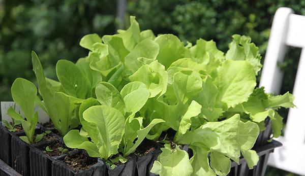 Store flotte salatplanter af flere sorter.