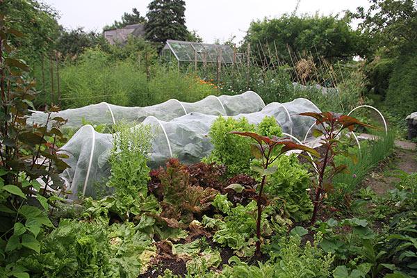 Salatplanterne er ved at gå i blomstring.