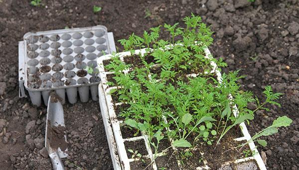 Tagetesplanter til udplantning i køkkenhaven.