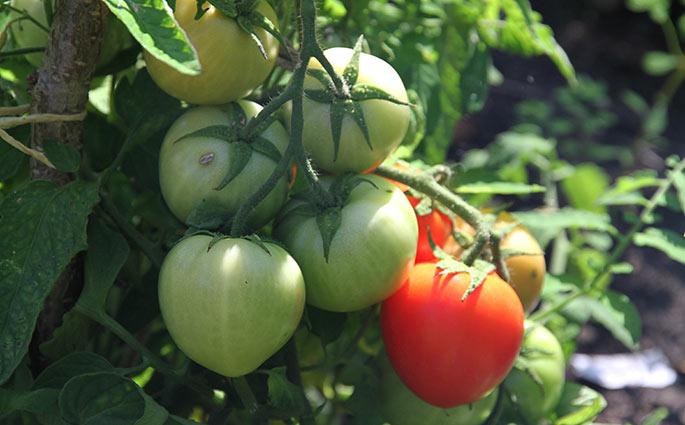 Bell Star har store hjerteformede tomater.