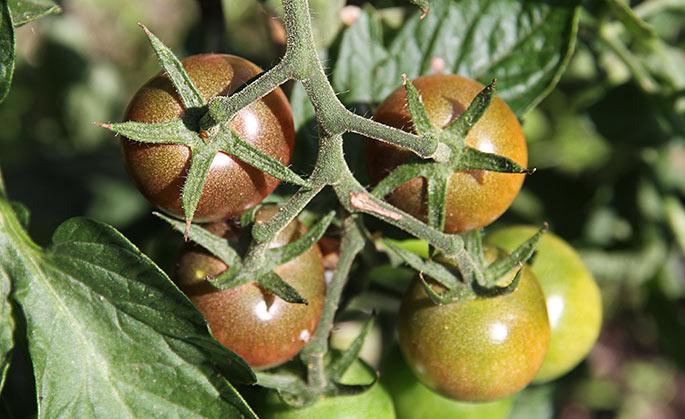 Black Cherry er brun, når den er moden.