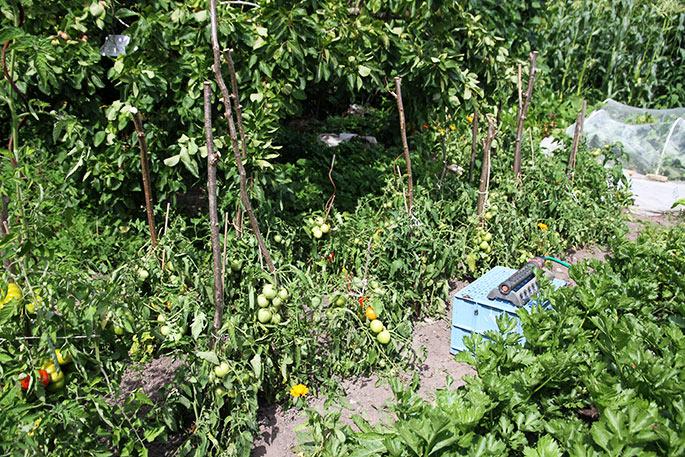 Tomatbed med Bell Star tomatplanter. De hænger med bladene i varmen.