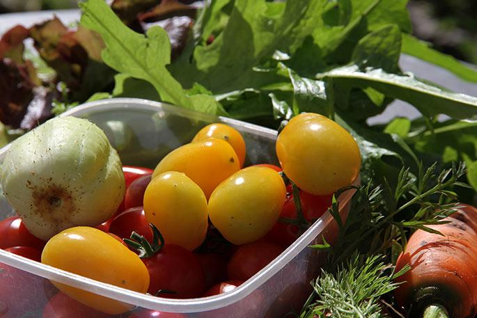 Dagens høst med modne gule og røde tomater, salat, citronagurk og gulerødder.