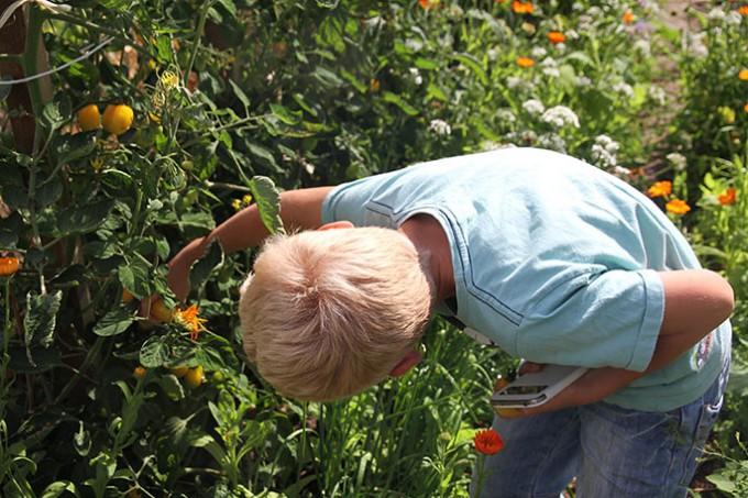 Magnus plukker tomater i mormors have