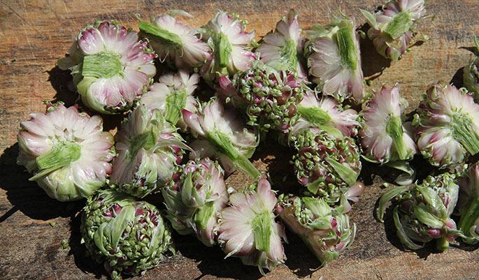 Kvarte og halve topløg til at fryse ned og bruge i maden i foråret.