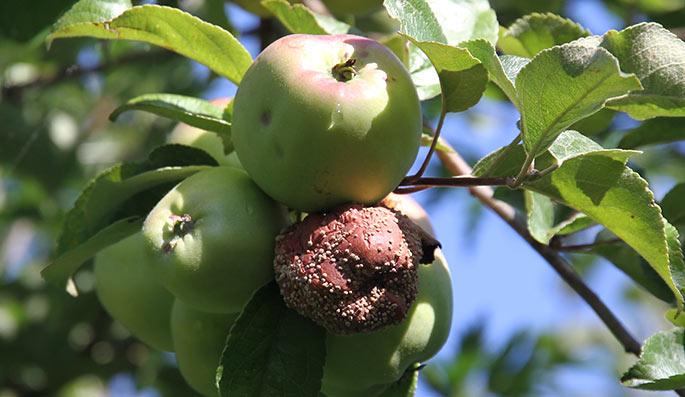 Æble angrebet af gul monilia.