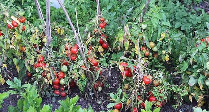 Tomatplanterne havde gule blade og desuden kartoffelskimmel på mange blade.