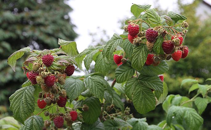 Mange flotte bær på Autumn Bliss