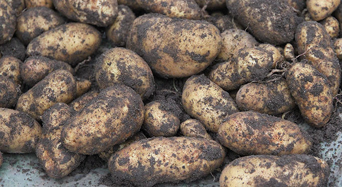 Golden Mayan gav store pine kartofler.