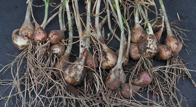 Alle de høstede grå skalotteløg.
