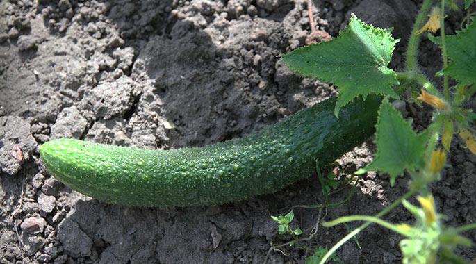 En fin slangeagurk på en meget tør jord.