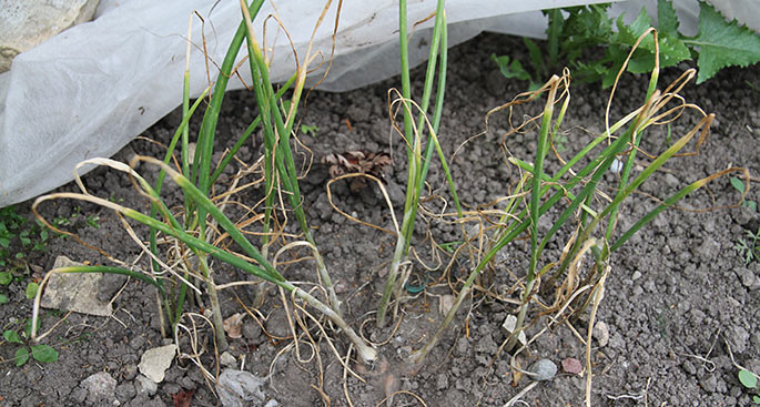 Planterne af de tre satte grå skalotteløg fylder ikke meget.