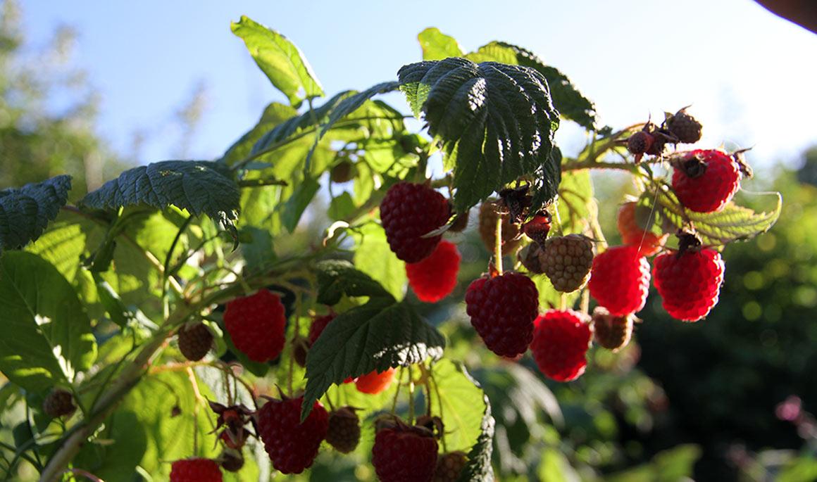 Lækre efterårshindbær