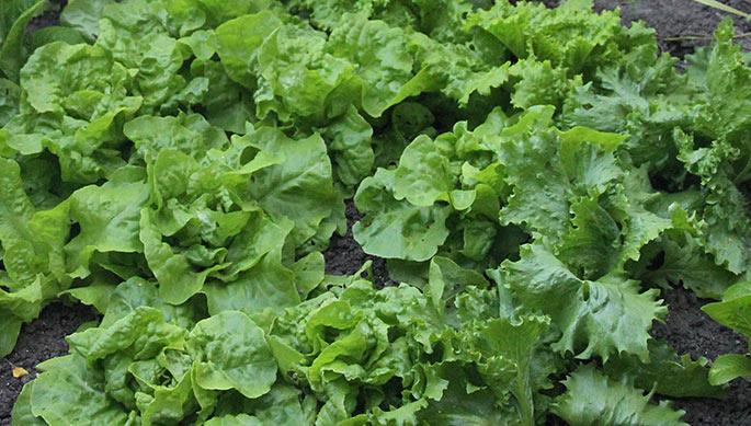 Salaten er ved at danne hoveder.