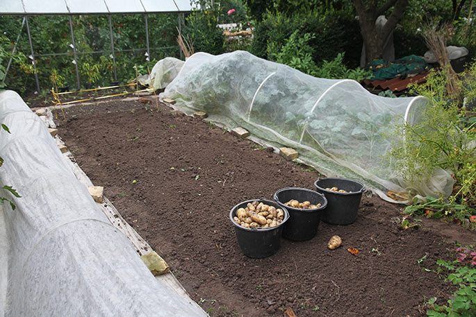 Kartoflerne er gravet op, bedet kultiveret og revet. Her skal sås grøngødning.