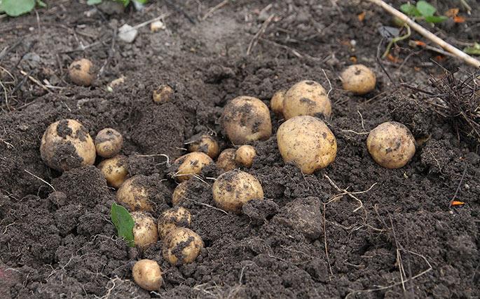 En top med mange Æggeblommekartofler i en pæn størrelse. Her blev valgt en del til læggekartofler fra denne blog.
