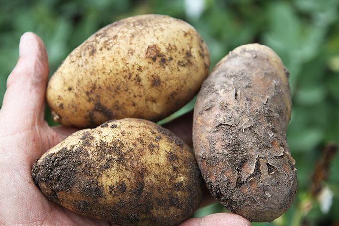 Her er hvad jeg fandt af dårlige kartofler.