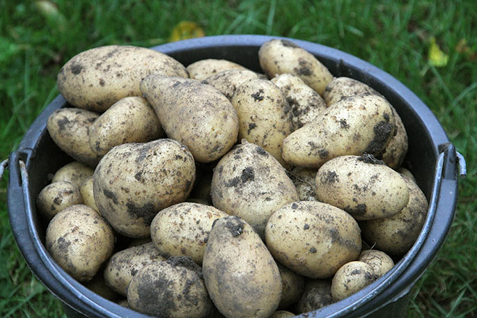 Anna Belle kartoflerne er til den store side i år.