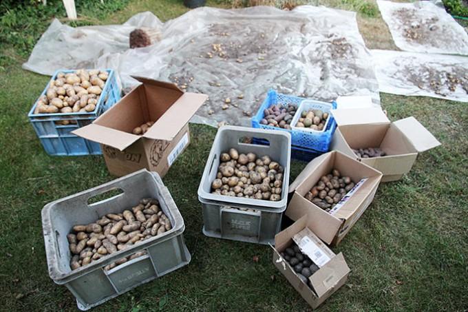 Kartoflerne er fyldt i kasser og klar til at bære ind.