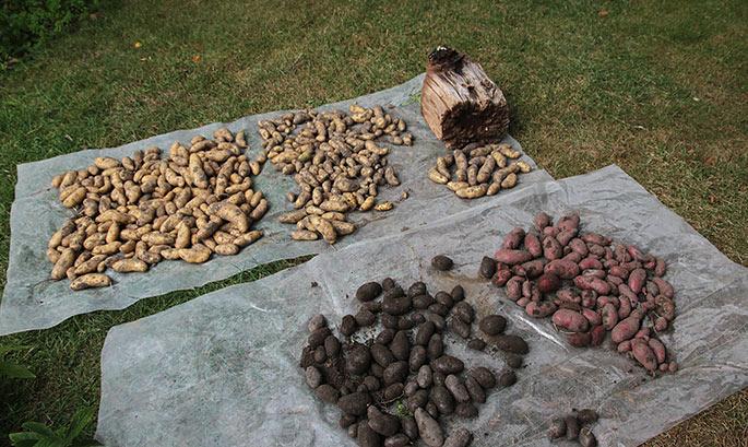 Aspargeskartofler, røde og blå kartofler lagt ud til tørring.