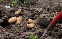 Kartoflerne tages forsigtigt op med en gravgreb, så jeg ikke graver i knoldene.