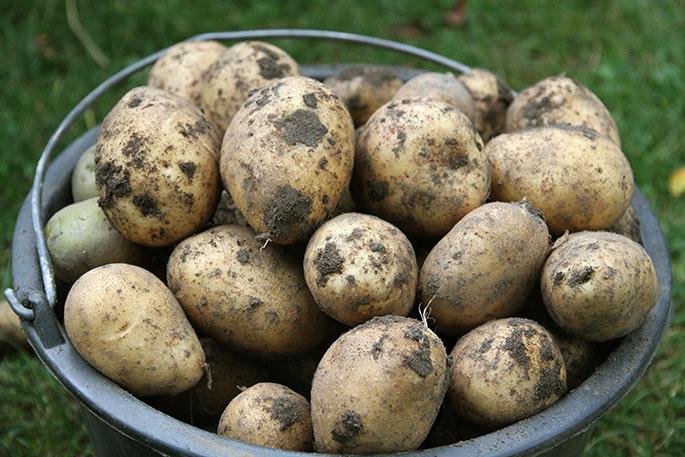Store runde kartofler.