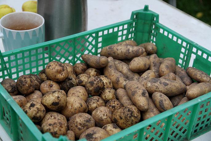 En kassefuld læggekartofler af Asparges og Æggeblomme.