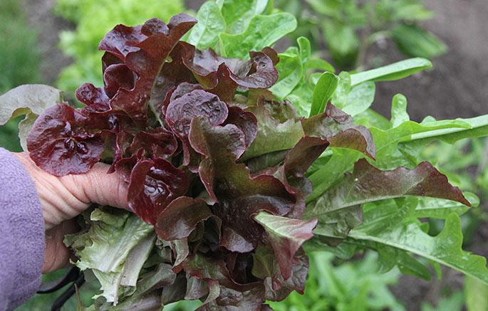 Sådan en håndfuld salat koster let 10-15 kroner at købe, og så er den ikke fristplukket og sprød.