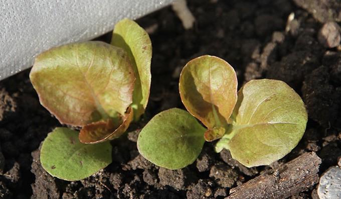 Mervielle de quatre saison er en tidlig sort, som også tåler efterårets kulde godt..