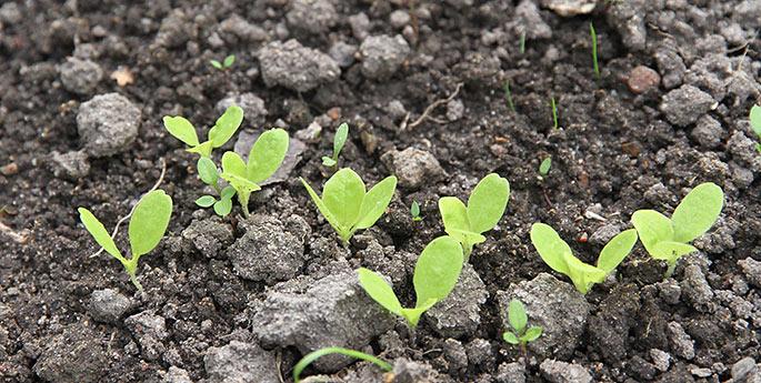 Flere kimplanter af salat på vej til at give salatblade sidst på efteråret.