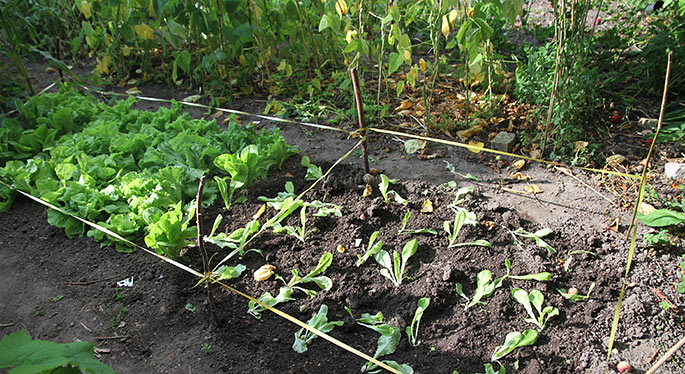 Nyplantet salat i morgensol.