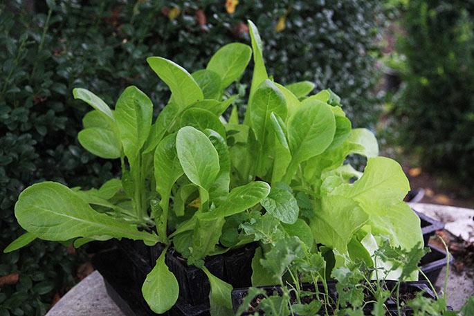 Salatplanter med flere i samme rum i rootrainde. De blev skilt og plantet ud enkeltvis.