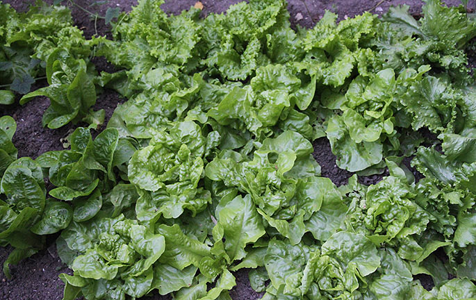 Salat i skyggebed