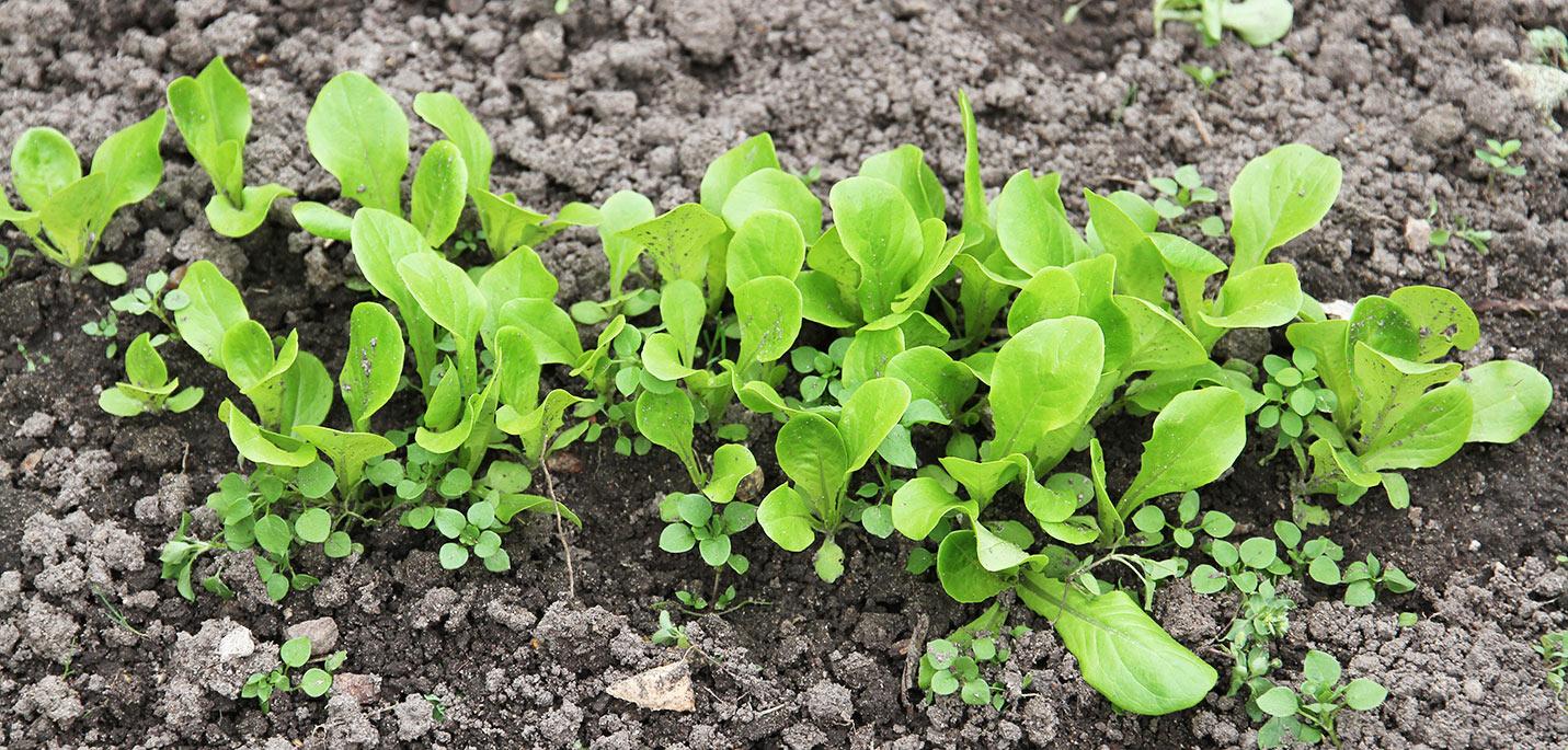 Små salatplatner.