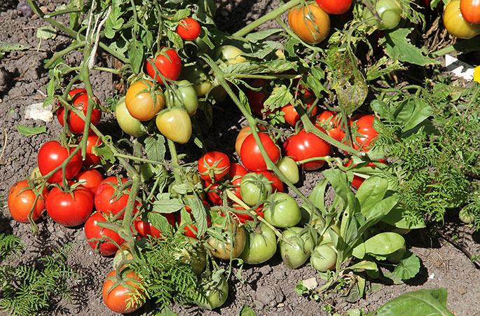 Den tørre sommer her på Lolland har givet mange tomater.