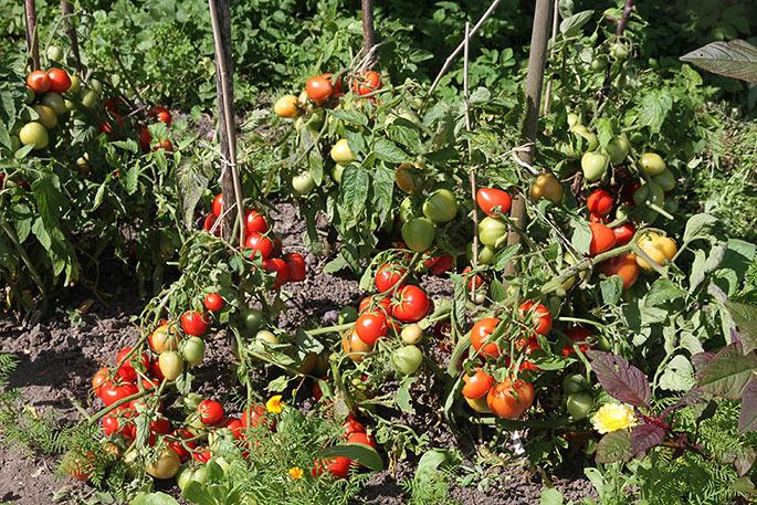Stort tomatudbytte